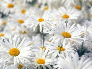 1275818132_plentiful-oxeye-daisies