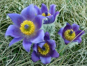 pasqueflower-862x1024x768x0