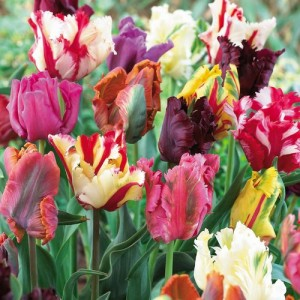 tulip-parrot-mix-r590_res